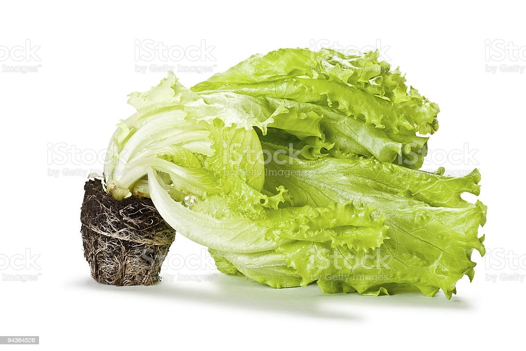 green isolated lettuce with soil royalty-free stock photo