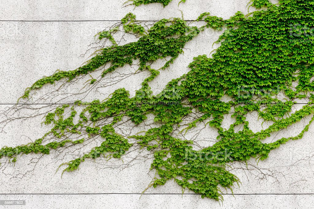 Green ivies plant on cement wall stock photo