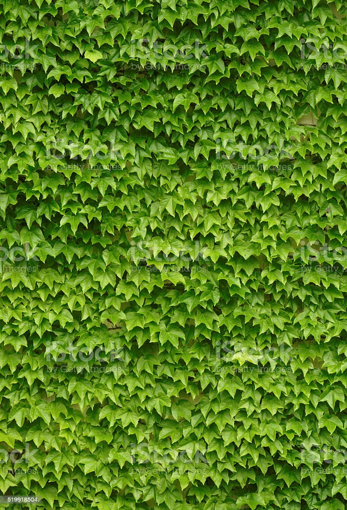 Green ivies plant on the wall stock photo