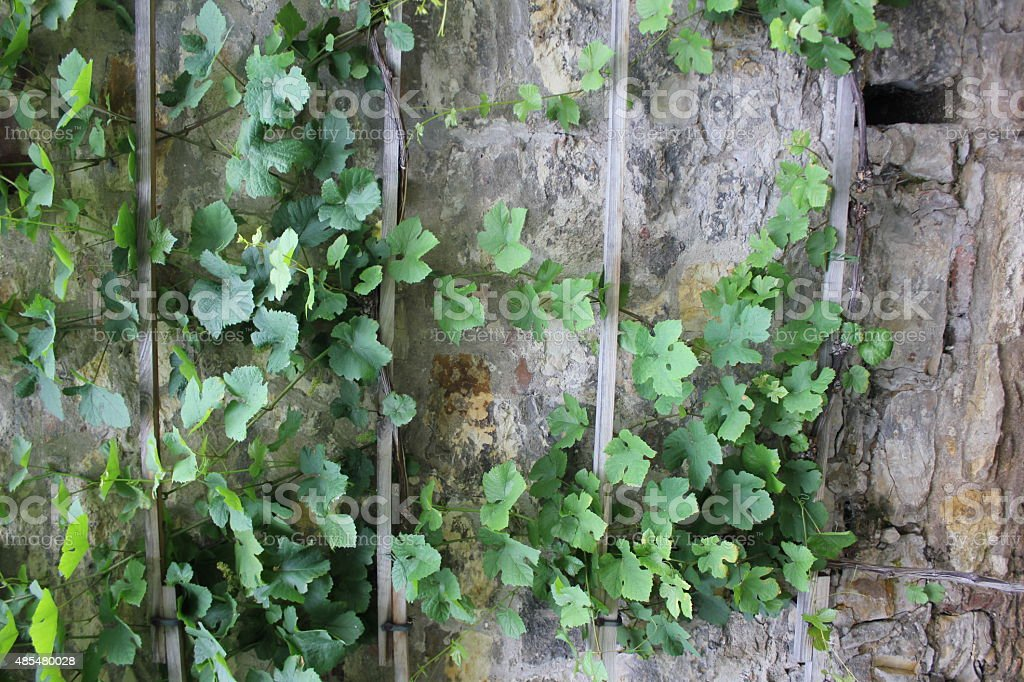 Green ivy and stone wall 7868 stock photo