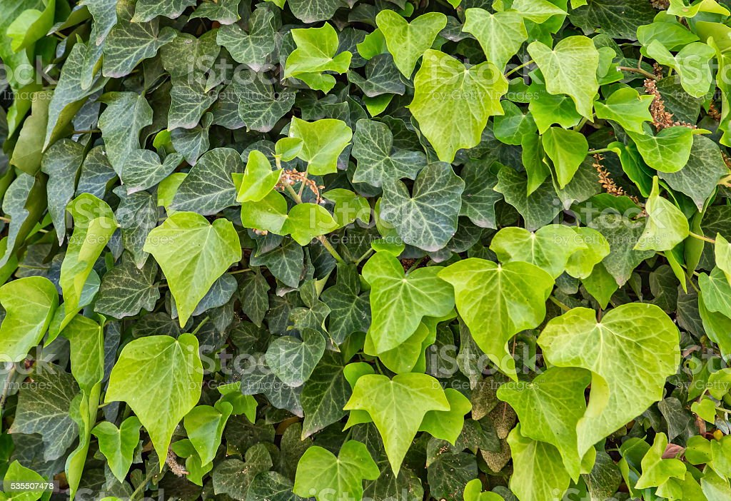 Green ivy foliage background stock photo