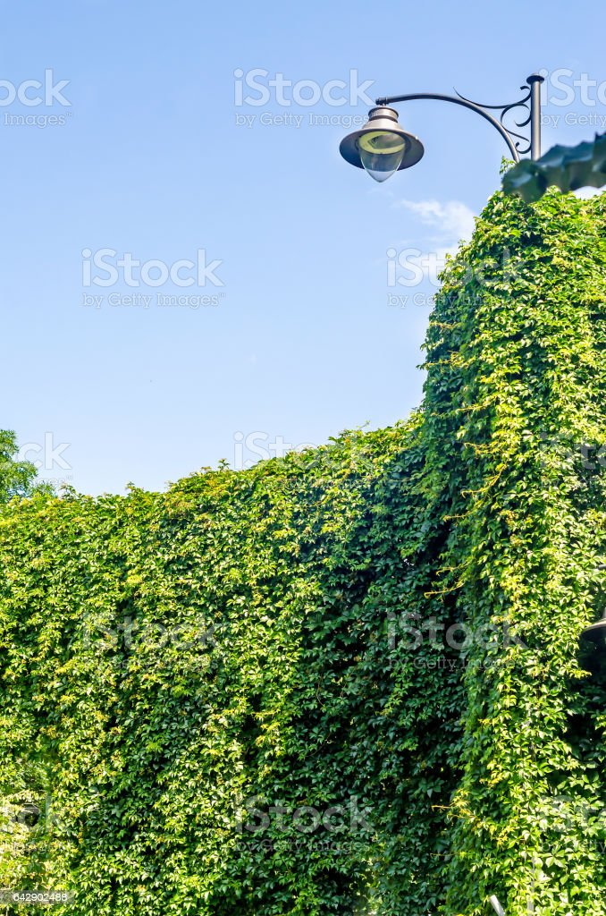 Green ivy, hedera helix and outdoor street light pole stock photo
