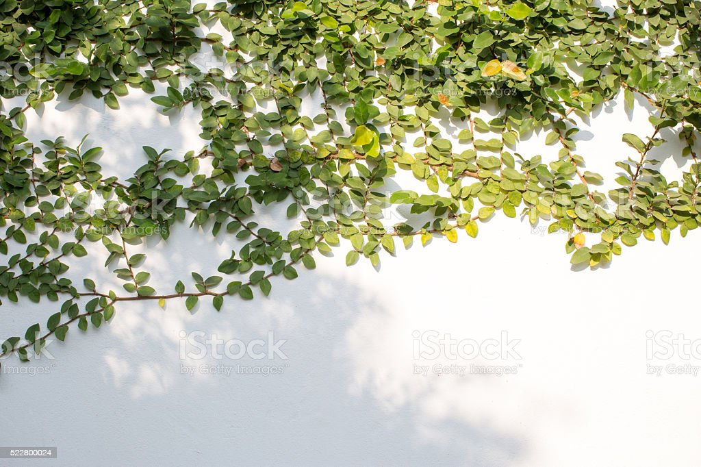 Green ivy isolated on white background stock photo