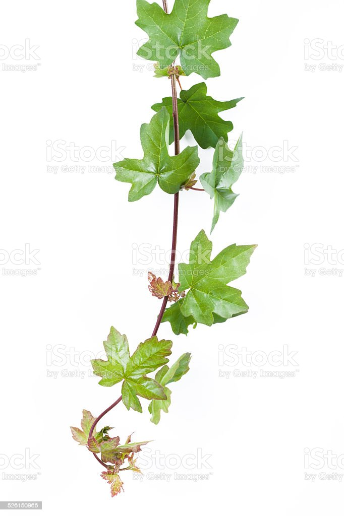 Green ivy isolated stock photo