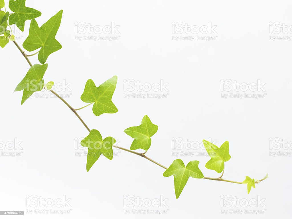 Green ivy leaf _ Pittsburgh stock photo