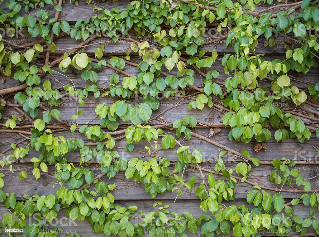 Green ivy leaves on the wooden wall background texture stock photo