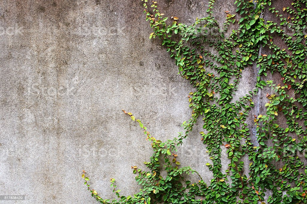 Green Ivy leaves or creeper plant on old cement wall stock photo