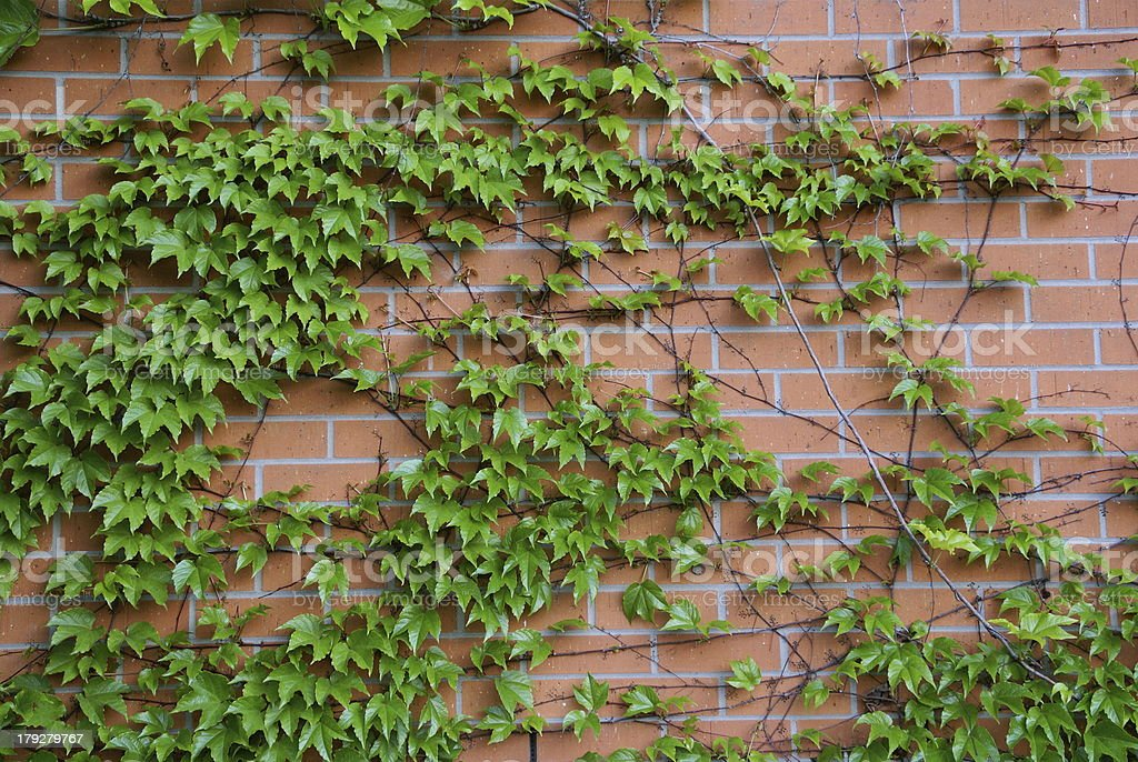 green  ivy leaves up on the wall royalty-free stock photo