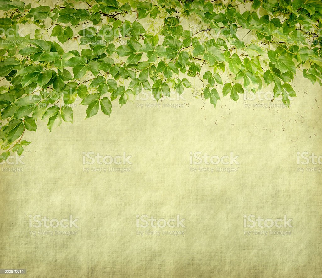 green ivy on old grunge antique paper texture stock photo