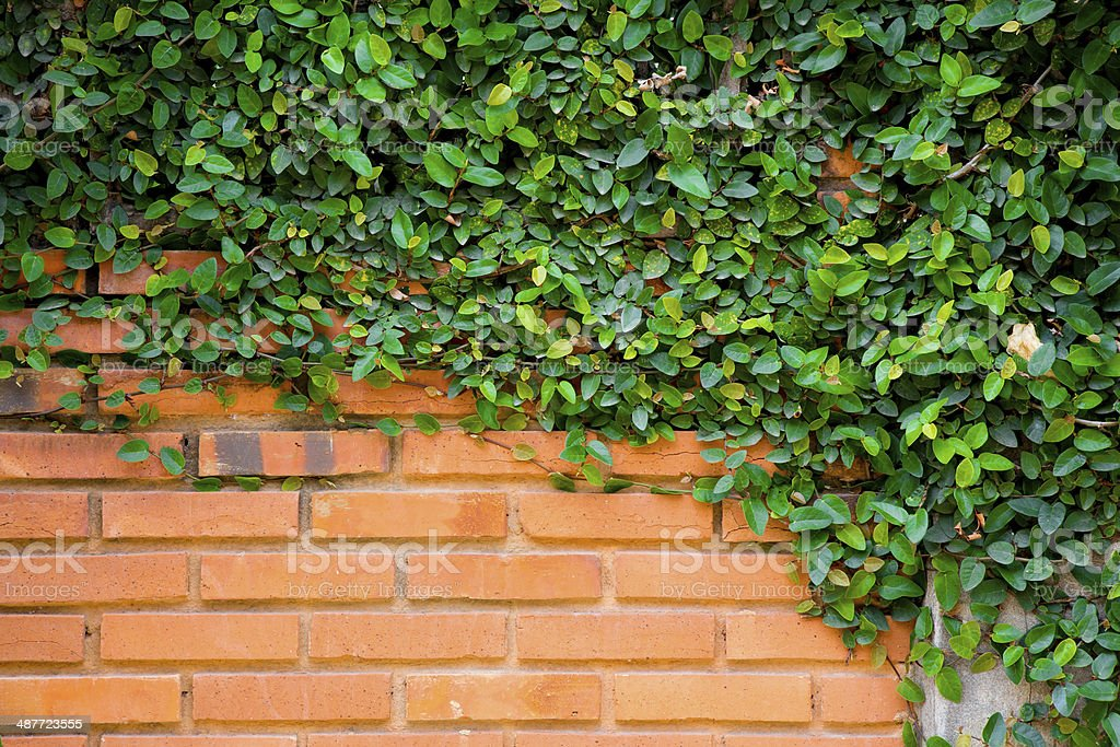 Green ivy on the brick wall royalty-free stock photo