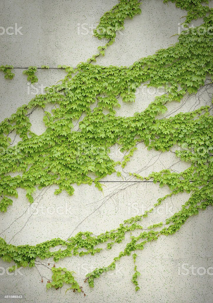 Green ivy on the wall stock photo