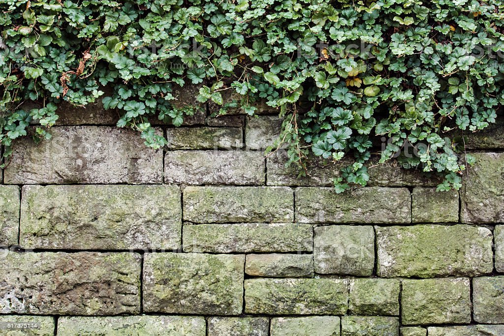 green ivy on wall, outdoor photo beauty in nature stock photo
