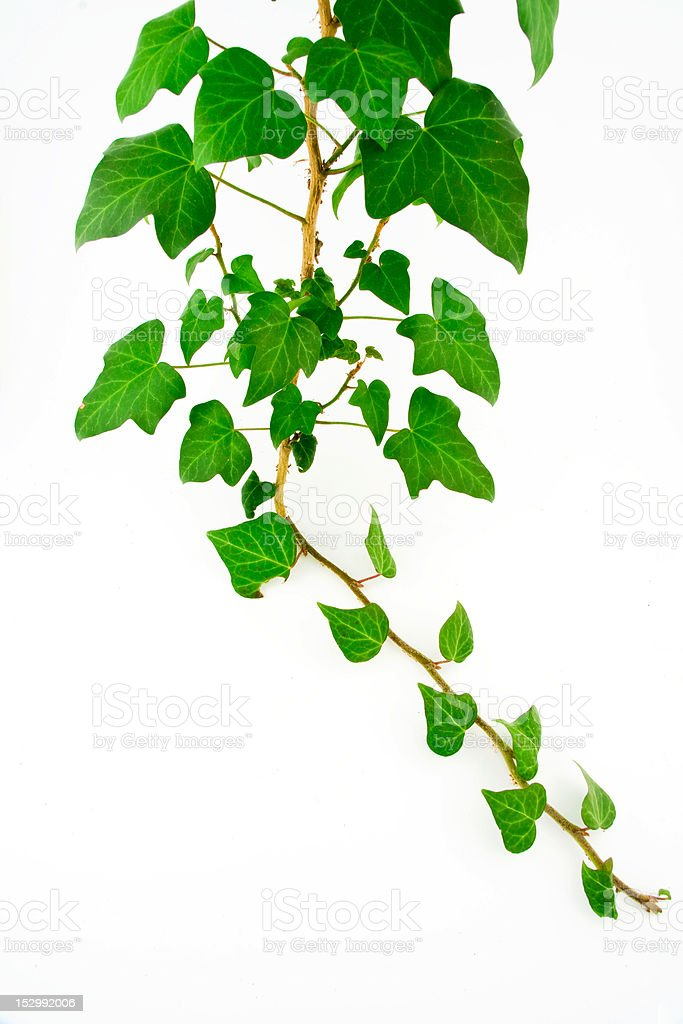 Green ivy royalty-free stock photo