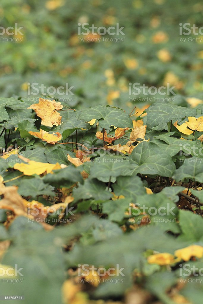 Green ivy royalty-free stock photo