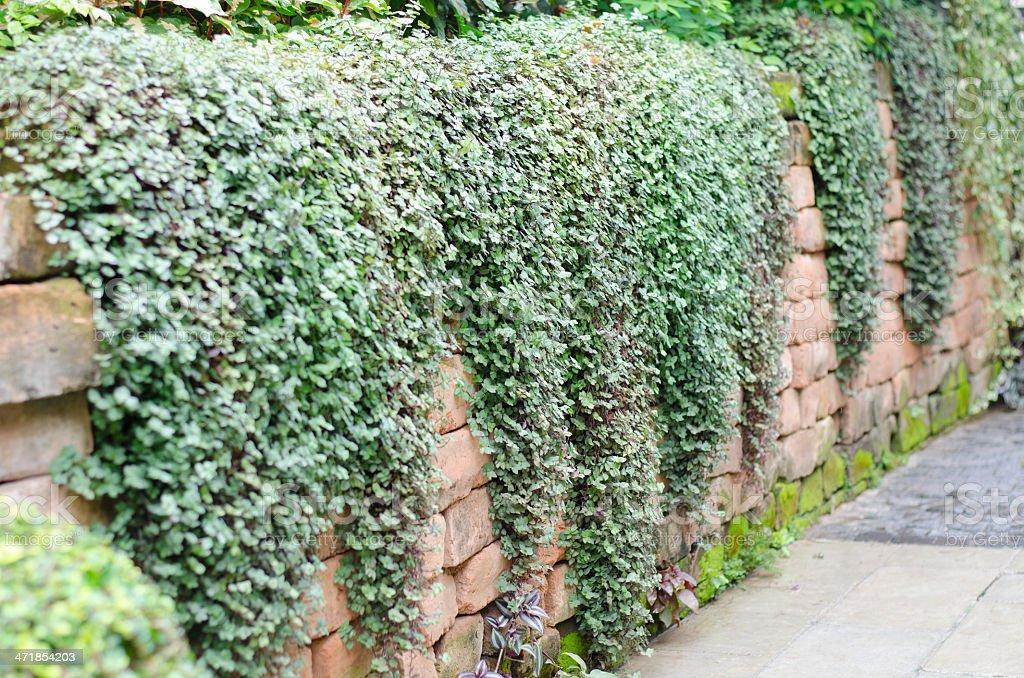 Green ivy. royalty-free stock photo