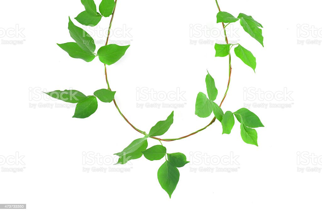 Green ivy plant c close up isolated on white background stock photo