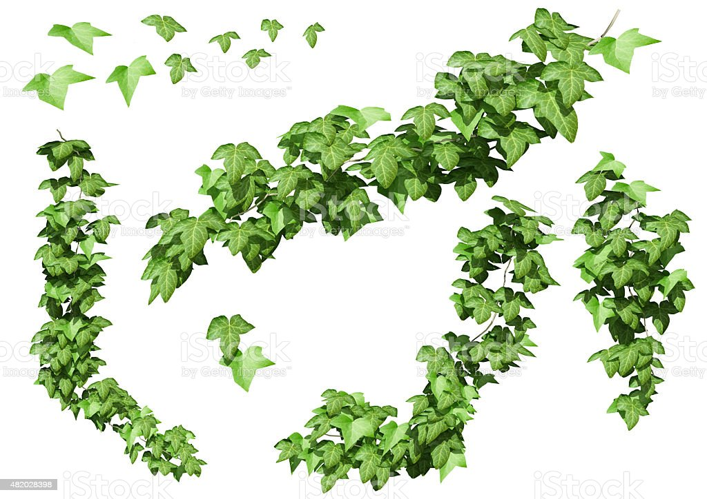 Green ivy plant isolated. stock photo