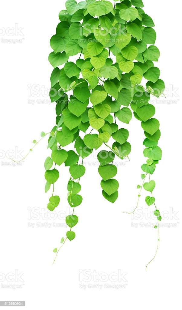 Green ivy plant, nature vine leaves stock photo