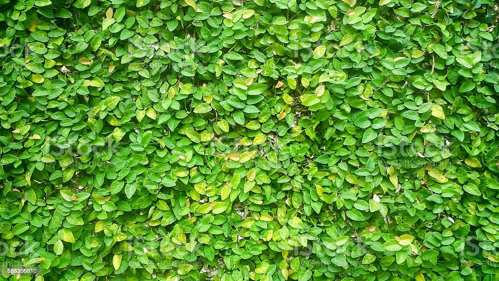 green ivy wall stock photo