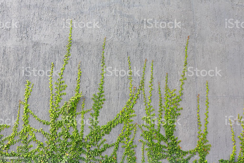 Green ivy with gray walls stock photo