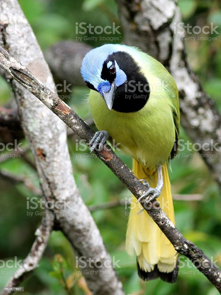 Green Jay in South Texas stock photo