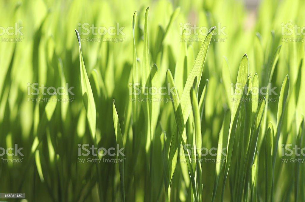 green joung wheat gras stock photo