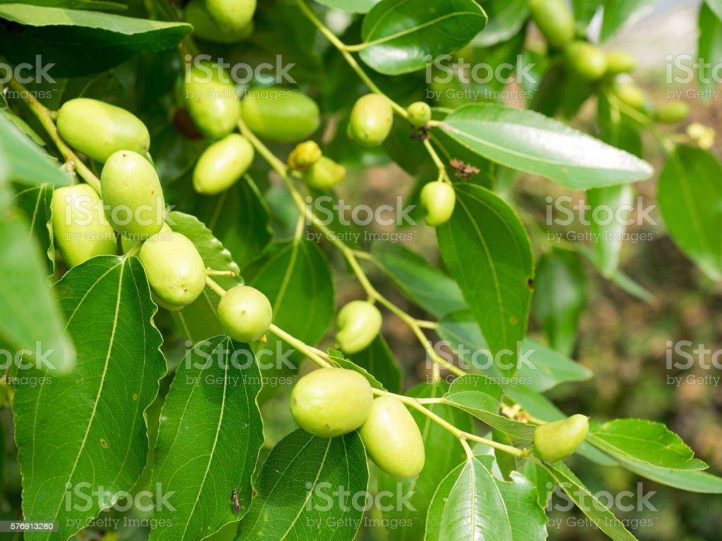green jujube stock photo