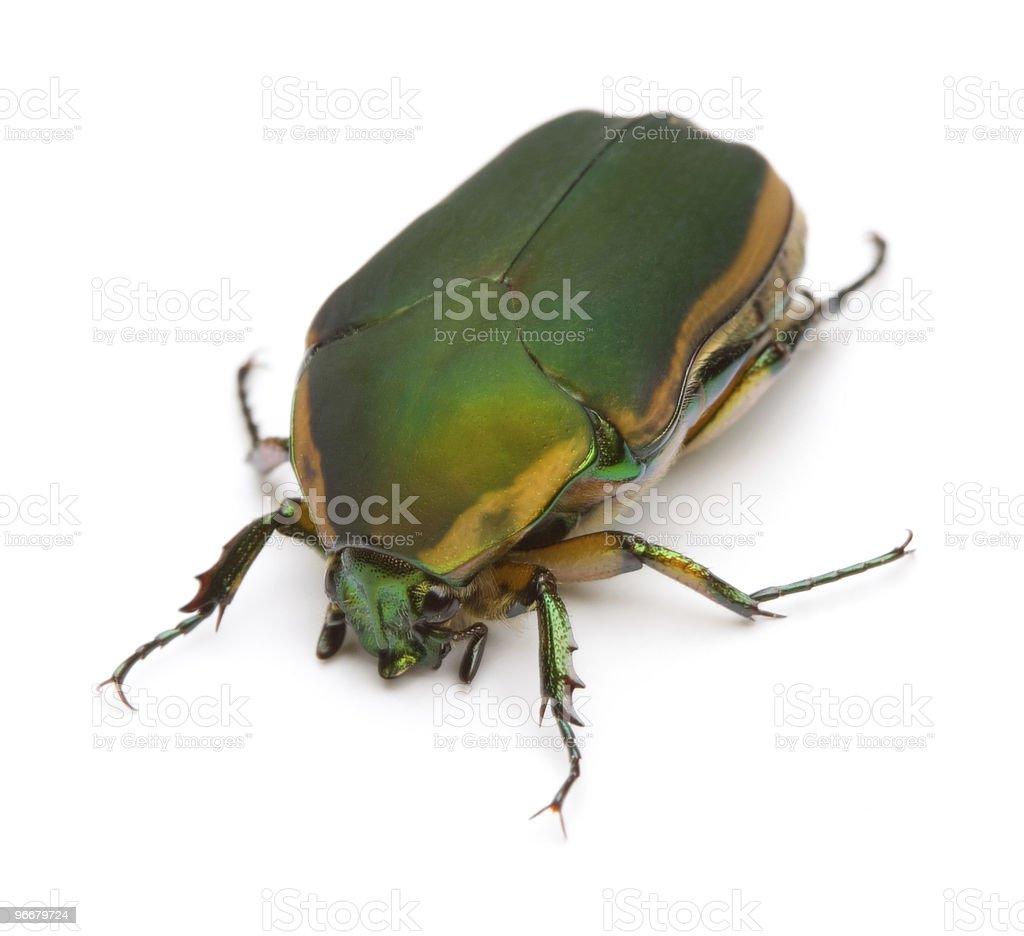 Green June Beetle royalty-free stock photo