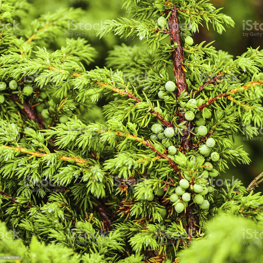 Green juniper's berries royalty-free stock photo
