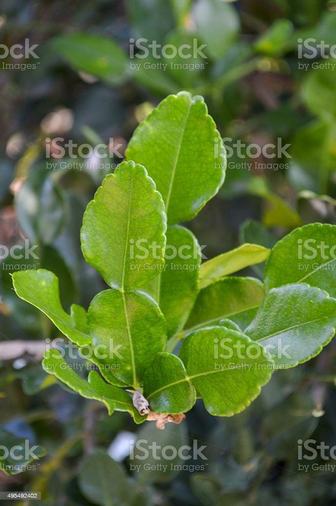 green Kaffir lime in garden stock photo