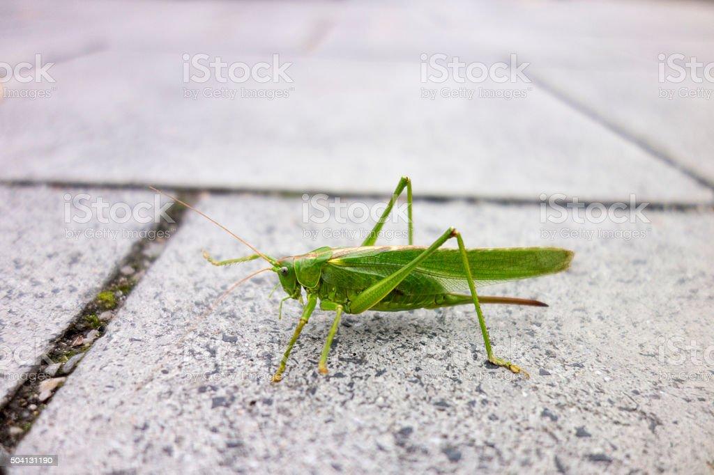 Green Katydid on street stock photo