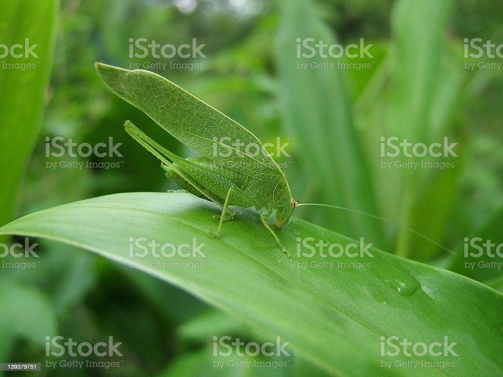 Green katydid stock photo