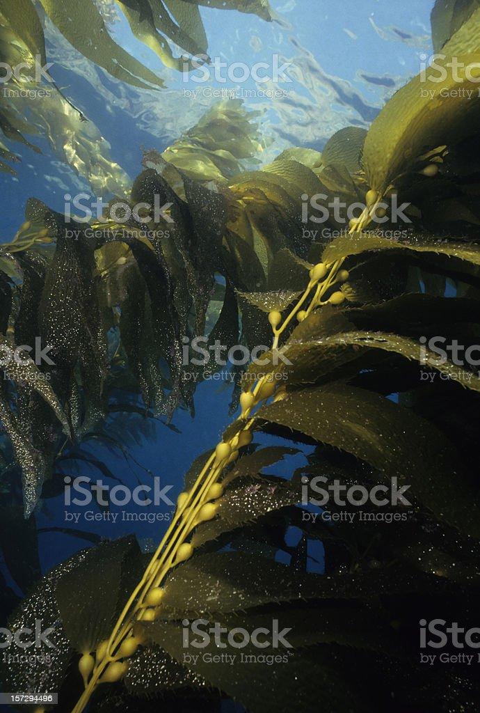 Green Kelp stock photo