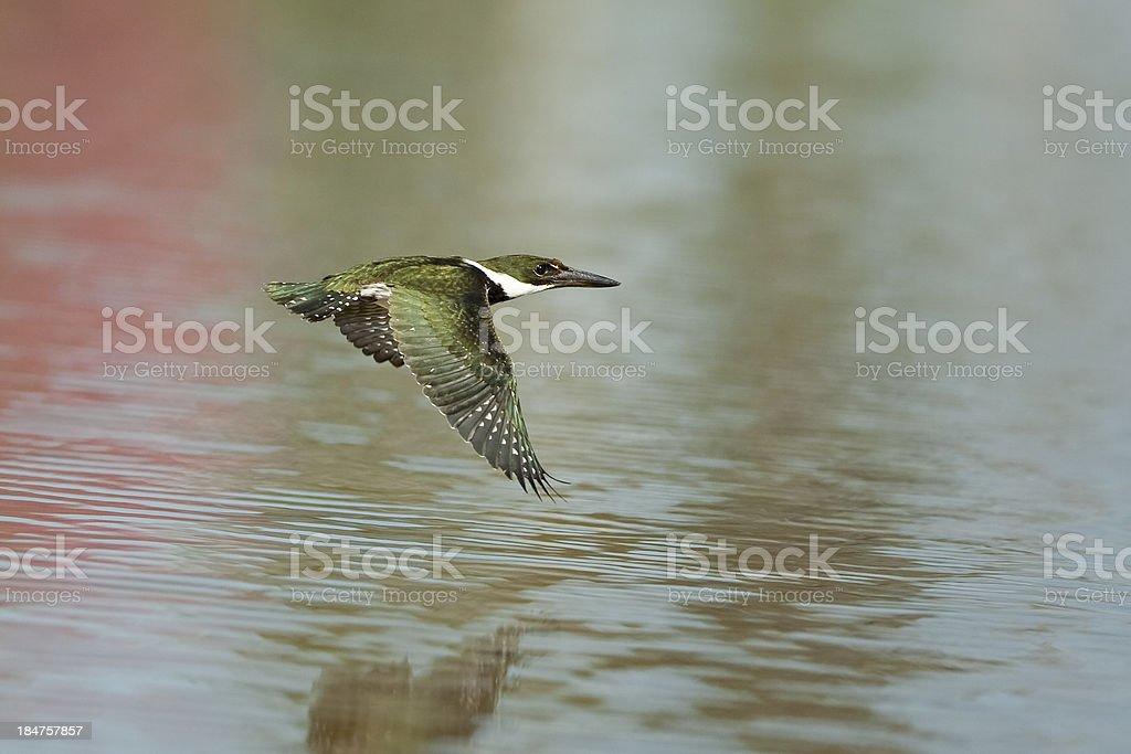 Green Kingfisher in flight royalty-free stock photo
