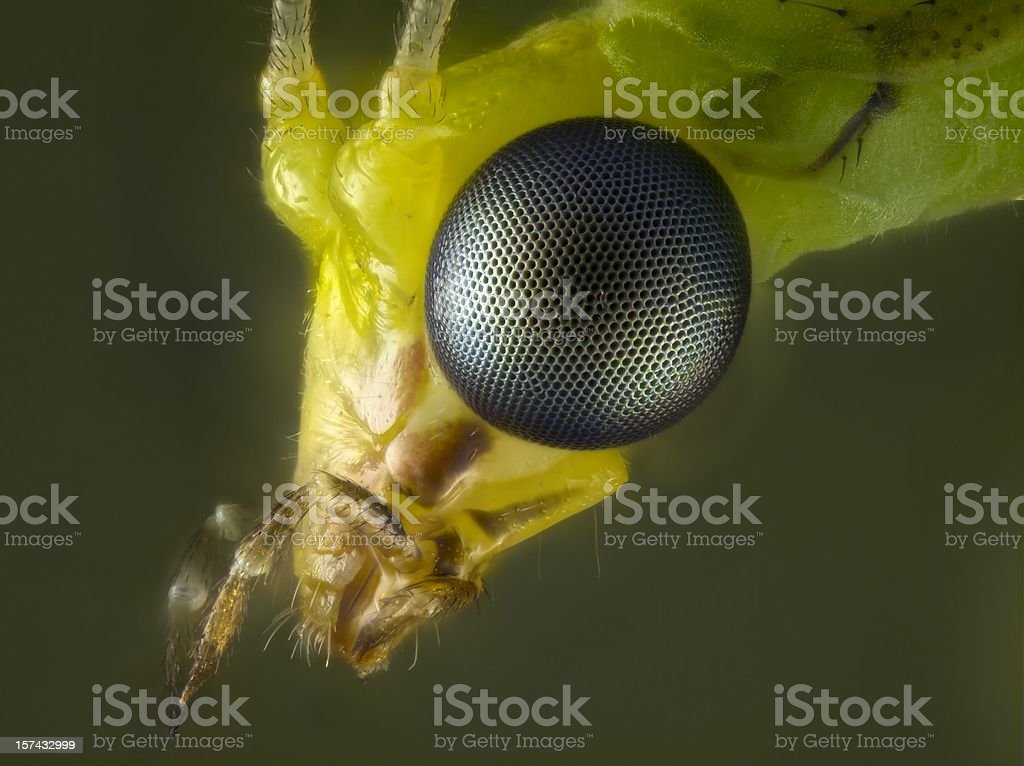 Green Lacewing portrait stock photo