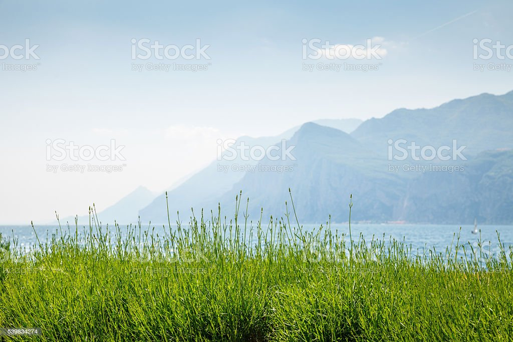 Green lavender flower bushes at pastel mountains background stock photo