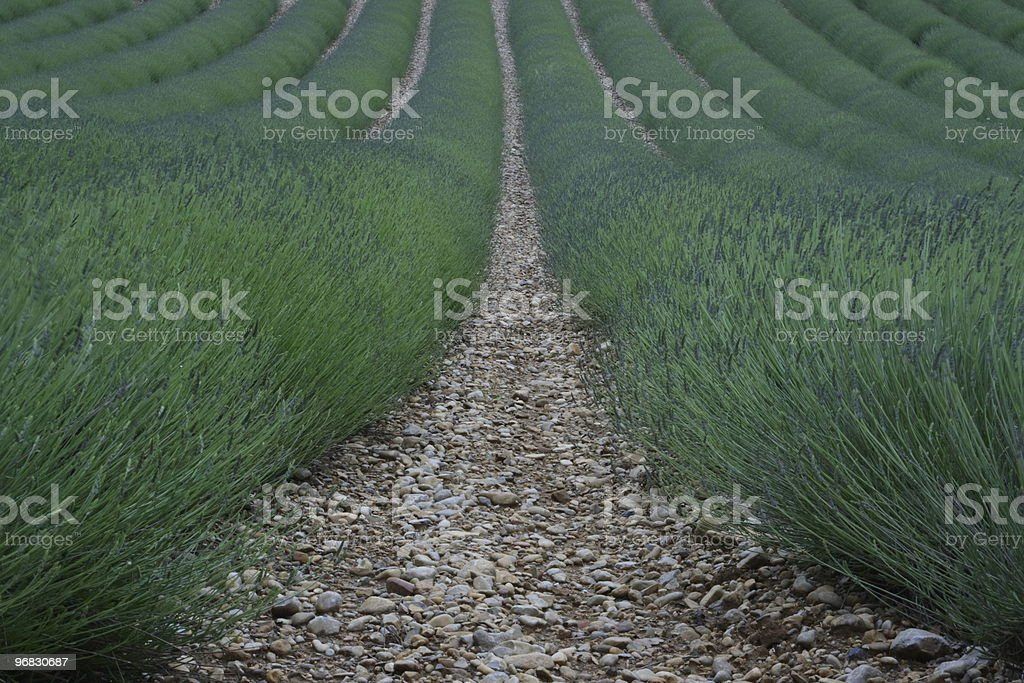 Green Lavender of Provence Symmetry stock photo