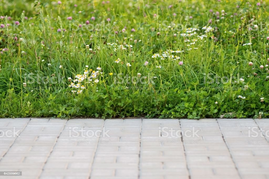 green lawn with a white daisy stock photo