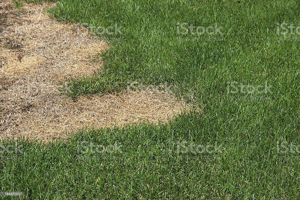 Green lawn with dead spot. stock photo