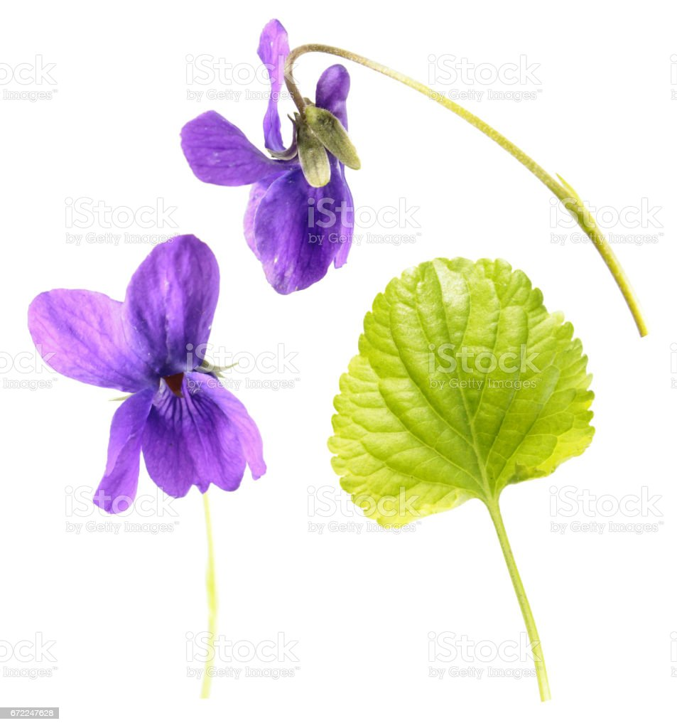 Green leaf and flowers of Wood violet (Viola odorata) isolated on white background. Medicinal and garden plant stock photo