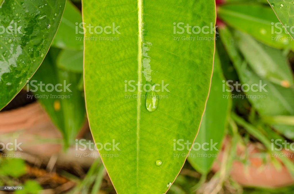 Green leaf and water drop after rain time stock photo