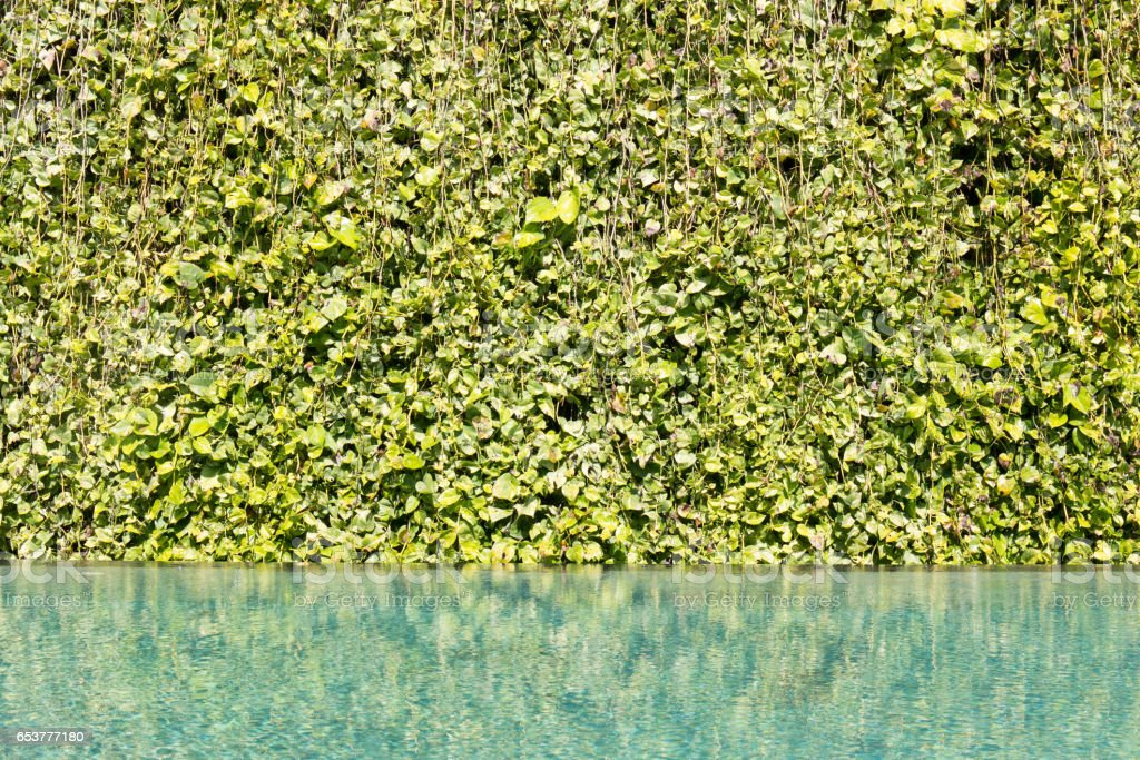 Green leaf background vine wall with Green swimming pool rippled water detail. stock photo