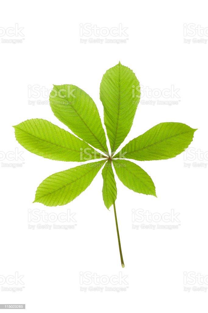 green leaf chestnut stock photo