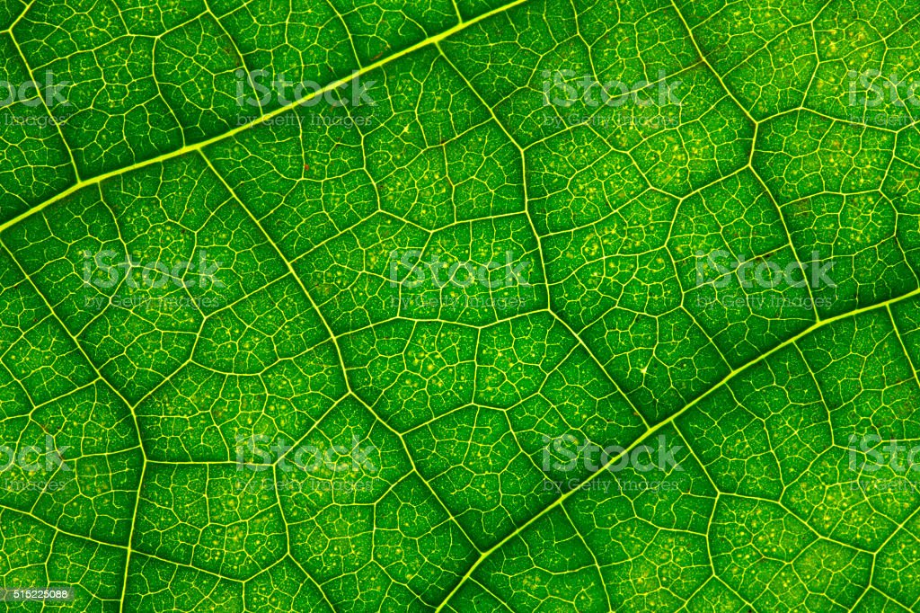Green Leaf Close up. stock photo