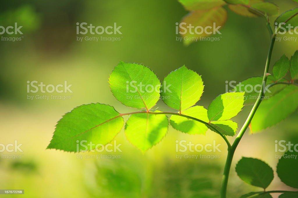 Green Leaf - defocused background royalty-free stock photo