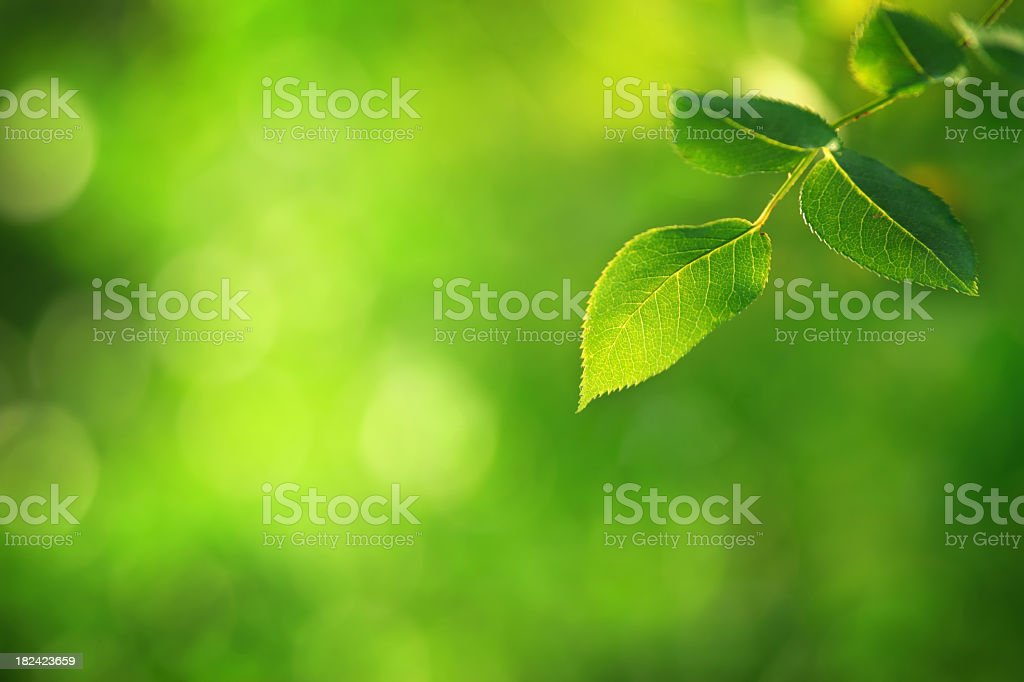 Green Leaf - defocused background royalty-free stock photo