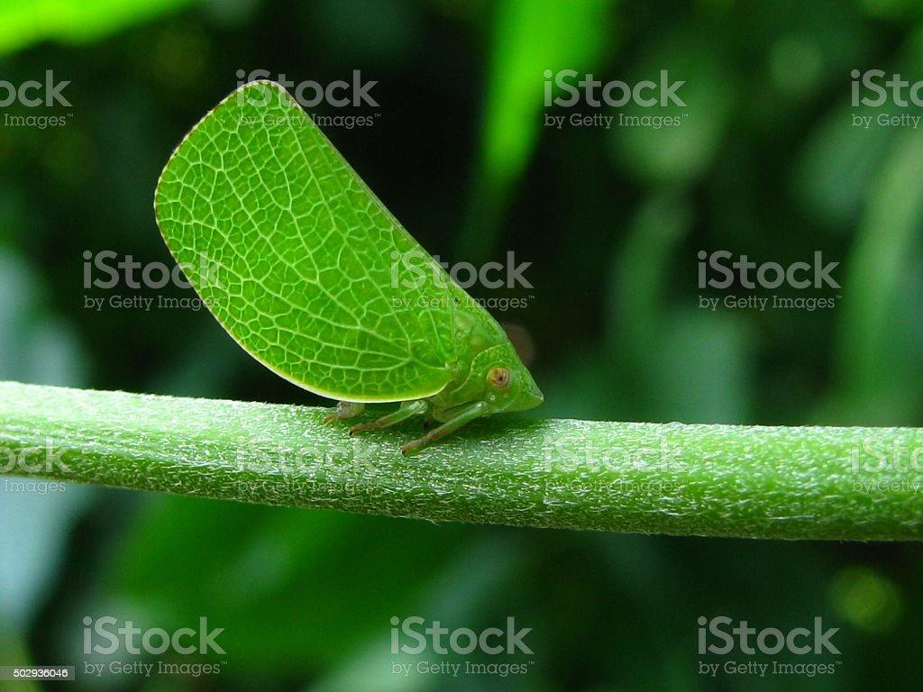 Green leaf hopper stock photo