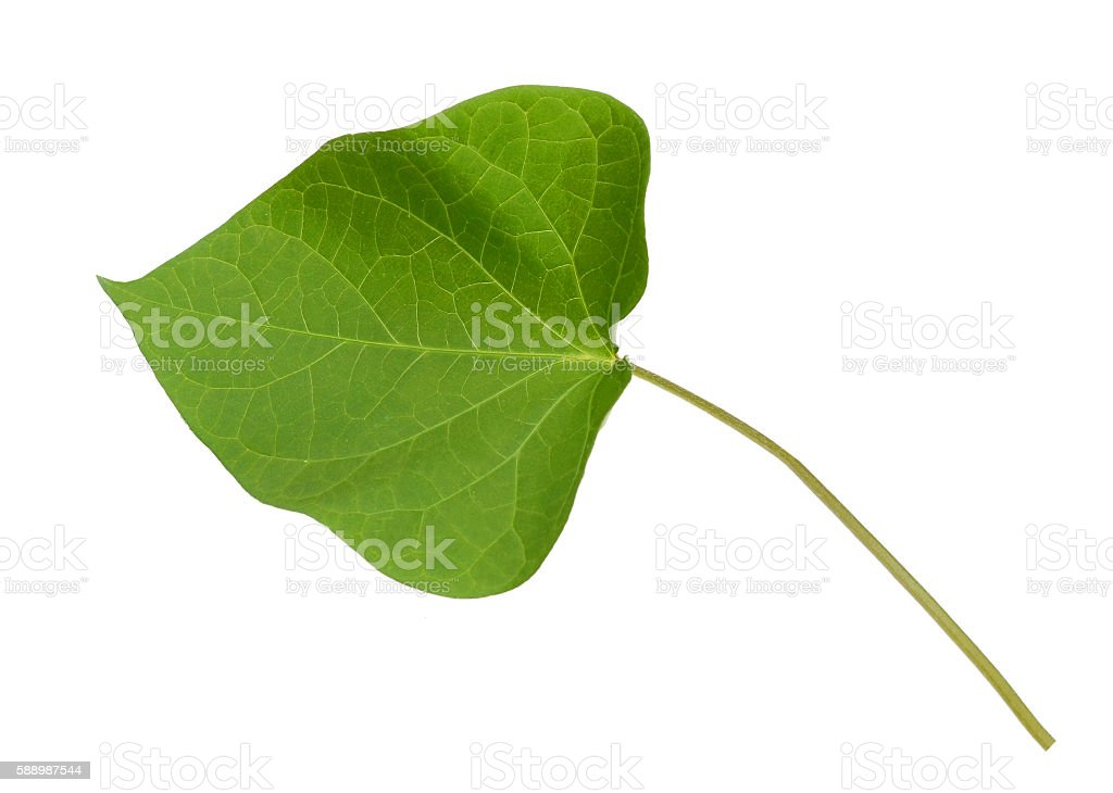 Green leaf ipomoea isolated stock photo