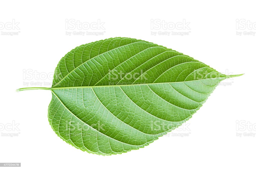 Green leaf. Isolated on a white. stock photo