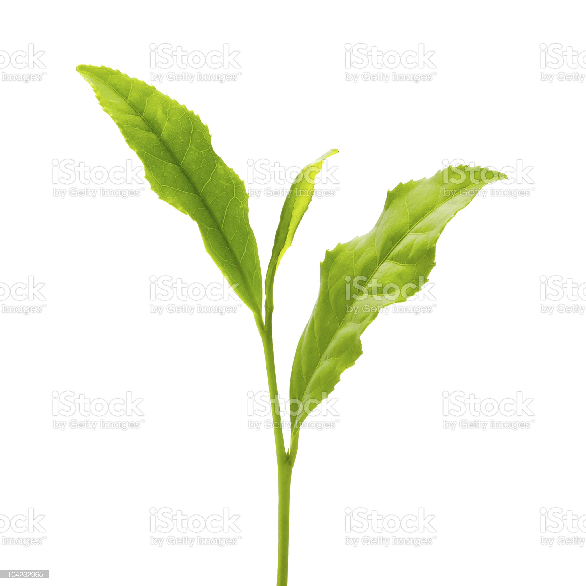 Green leaf isolated on white background royalty-free stock photo